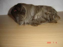Orphé, rongeur Cochon d'Inde