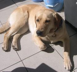 Biscotte, chien Labrador Retriever