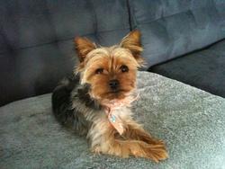 Kathy, chien Yorkshire Terrier