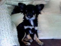 Roxanne, chien Chihuahua