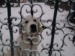 Jack, chien Golden Retriever