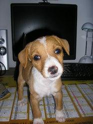 Sox, chien Pinscher
