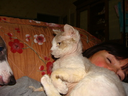 Ulise, chat Devon Rex