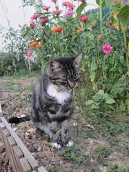 Calypso, chat Gouttière