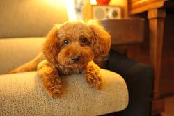 Carambar, chien Caniche