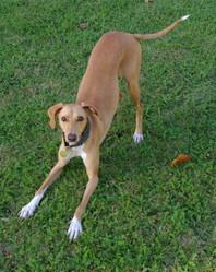 Eole, chien Lévrier espagnol