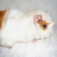 Armelle, rongeur Cochon d'Inde