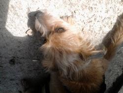 Mick, chien Skye Terrier