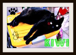 Kiwi, chat Européen