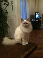 Esterel, chat Birman