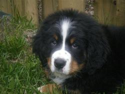 Marcus, chien Bouvier bernois