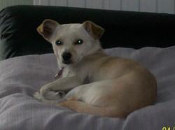 Princesse, chien Chihuahua
