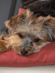 Zora, chien Yorkshire Terrier