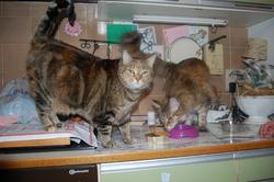 Laska, chat Gouttière