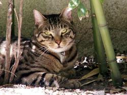 Ilane, chat Birman