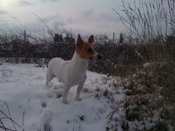 Bouba, chien Jack Russell Terrier