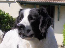 Bakhya, chien Landseer