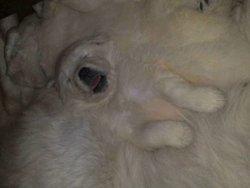 Bébé, chien Slovensky cuvac