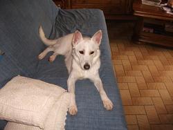 Smilkia, chien Husky sibérien