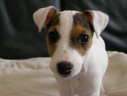 Donate, chien Jack Russell Terrier