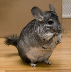 Aieko, rongeur Chinchilla