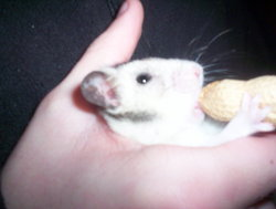 Nono, rongeur Hamster