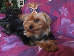 Tamara, chien Yorkshire Terrier