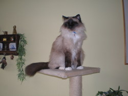 Pearl, chat Birman