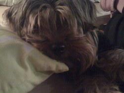 Banzai, chien Yorkshire Terrier