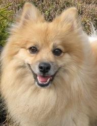 Bouboule, chien Spitz allemand