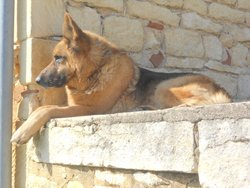 Simba, chien Berger allemand
