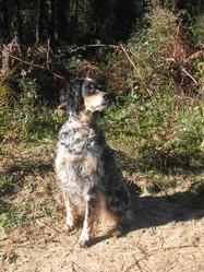 Titoune, chien Setter anglais