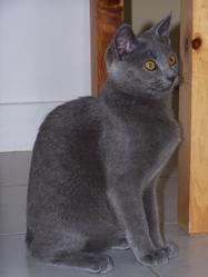 Chipie, chat Chartreux