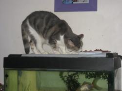 Miss Tigri, chat Européen