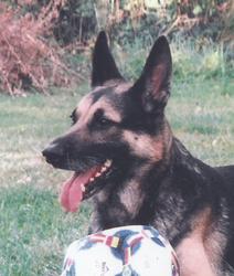 Ouragan, chien Berger allemand