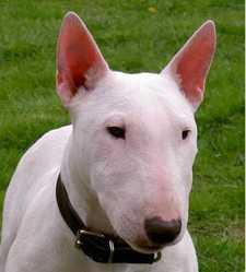 Délisse, chien Bull Terrier