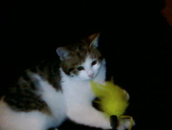 Zazy, chat Gouttière