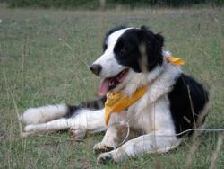 F-Patch, chien Border Collie
