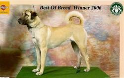 Dubai, chien Berger d'Anatolie