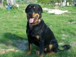 Nitro, chien Rottweiler