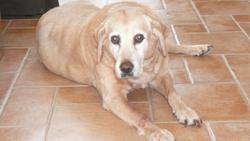 Macha, chien Labrador Retriever