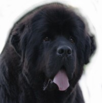 Abigaël, chien Terre-Neuve