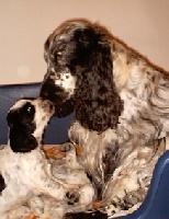 Orphée D Artenset, chien Cocker anglais
