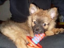 Levis, chien