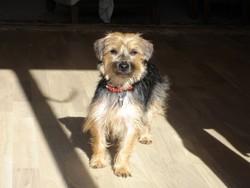 Bob, chien Yorkshire Terrier