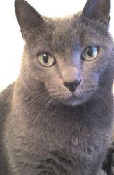 Gribouille, chat Bleu russe
