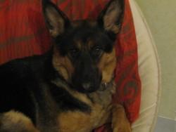 Elya, chien Berger allemand