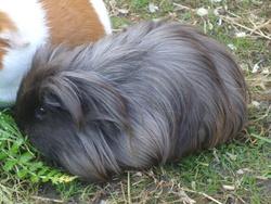 Noireau, rongeur Cochon d'Inde