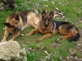 Maruis, chien Berger allemand