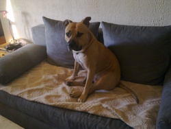 Shiva, chien American Staffordshire Terrier